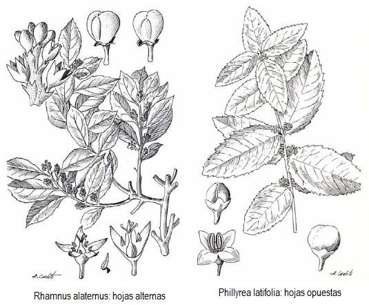 Rhamnus o Phillyrea