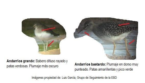 Andarríos grande vs Andarríos bastardo plumaje
